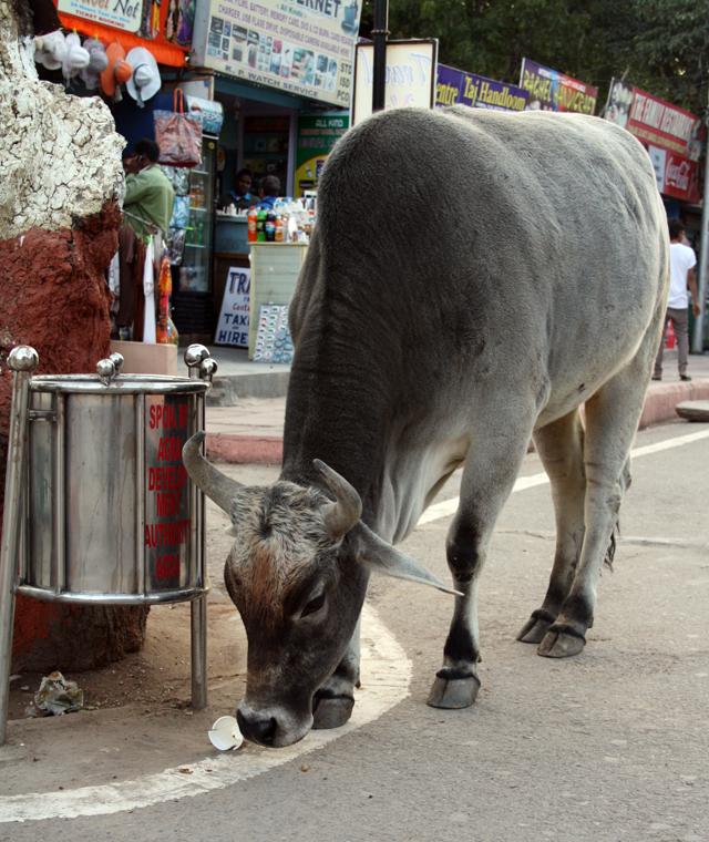 heilige-kuh, heilige-kuehe, www.trolley-tourist.de