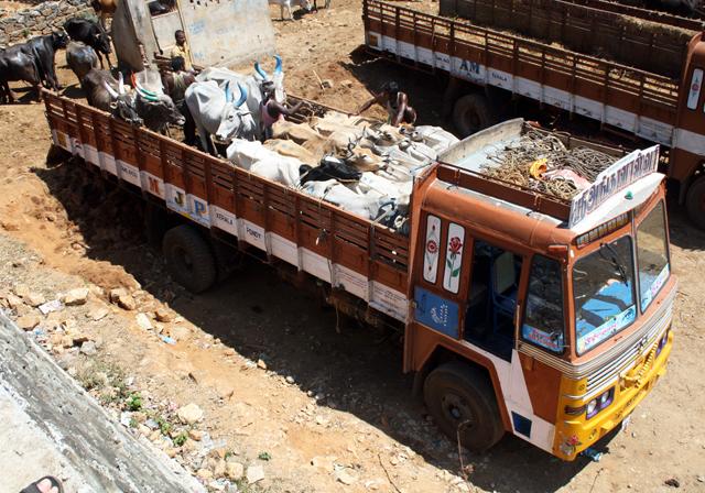 rinder-lastwagen-trolley-tourist