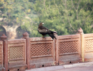dehli-greifvogel