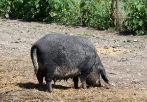 mangalitza-schwein, genussregion-burgenland, wwwtrolley-tourist.de