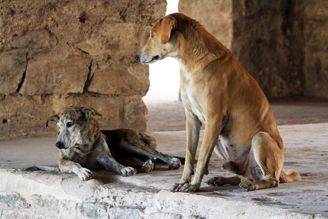 hyderabad-golconda-fort-hunde, www.trolley-tourist.de