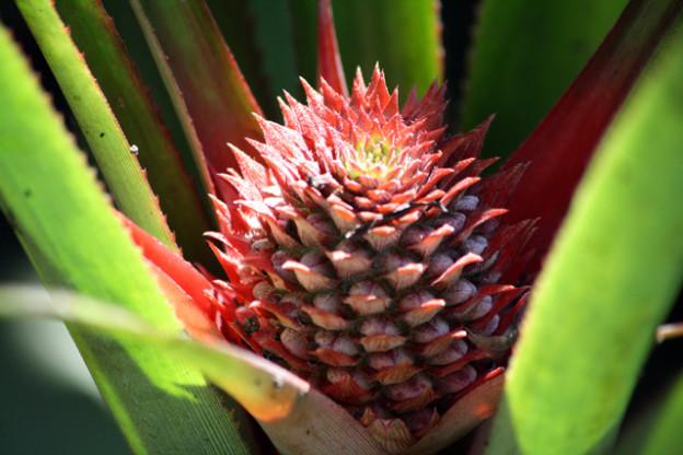 abraham-spice-garden-ananas-trolley-tourist