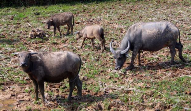 kambodschanischer-alltag-wasserbueffel